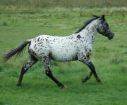 Appaloosa Sport Horse Filly Delicious Design 09/08/07
