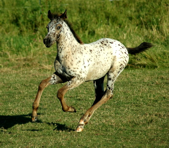 Appaloosa Sport Horse Champion Delicious Design