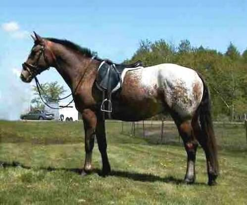 Appaloosa Sport Horse-Double Time
