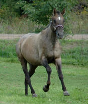 Appaloosa Mare Waps Foolishly Dun