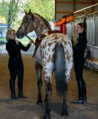 Appaloosa Friesian Sport Horse Grand Design