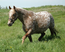 Appaloosa Mare Patty
